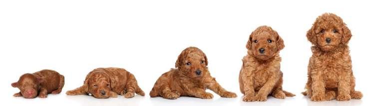 fasi cucciolo