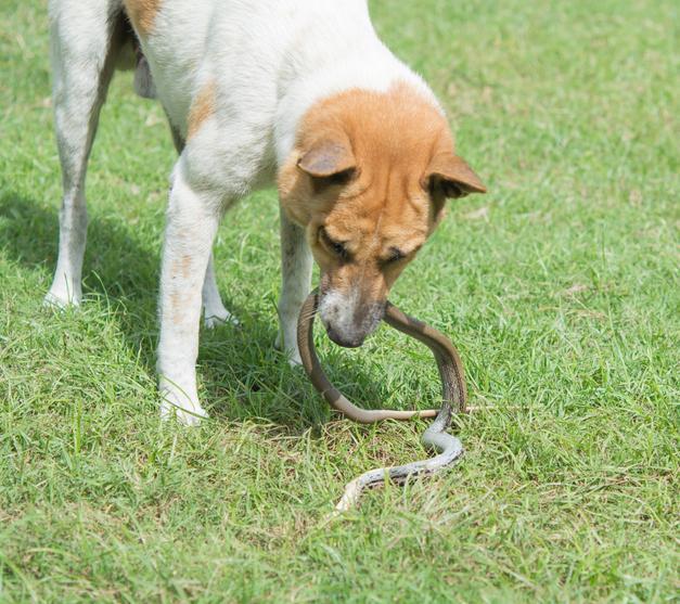 morso vipera cane