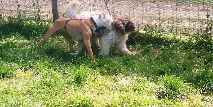 cani aggressivi che mordono