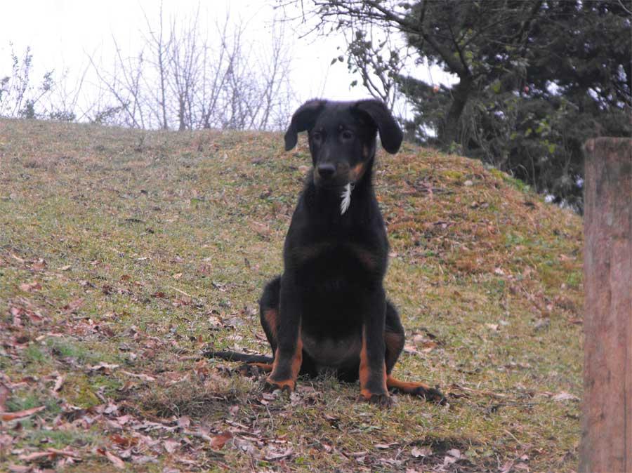 Foto moderator dog: Cane adulto regolatore o moderator dog